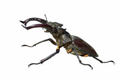Male of Stag-beetle 5 Royalty Free Stock Images
