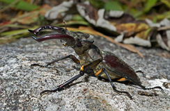 Male of Stag-beetle 7 Royalty Free Stock Photography