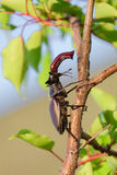 Male stag beetle Royalty Free Stock Photos