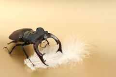 Male stag-beetle and feather Royalty Free Stock Photos