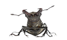 Male stag beetle, Lucanus cervus Stock Photos