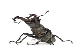 Male stag beetle, Lucanus cervus against white background Stock Images