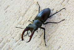 Male stag beetle. Lucanus cervus has enlarged mandibles which are similar to deer horns Stock Photos