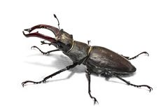 Big male stag beetle. Male stag beetle, Lucanus cervus, isolated on white background. Close-up photo of big stag-beetle - the largest beetle of Europa Stock Photos