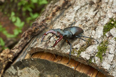 Male stag beetle on the oak. Royalty Free Stock Photography