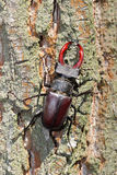 Male of stag beetle on the oak tree Royalty Free Stock Photos
