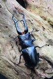A male stag beetle portrait. A stag beetle sits on a log in it`s environment looking for food or a mate,whichever comes first Royalty Free Stock Image