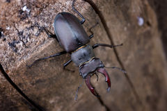 Male Stag beetle on a tree trunk. Lucanus cervus Stock Photography