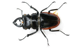 Male stag beetle on white Royalty Free Stock Photo