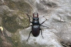 Male stag beetle (Lucanus cervus) Royalty Free Stock Images