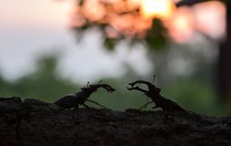 Male stag beetles, Lucanus cervus, sunset in the background. Beautiful photo of two male stag beetles, Lucanus cervus, sunset in the background Royalty Free Stock Images