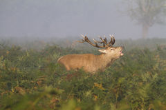Male stag deer in countryside. Male red stag deer in countryside during rutting season Royalty Free Stock Photography