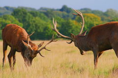 Male stags going into battle. Two male stags in rutting season going into battle Royalty Free Stock Photography