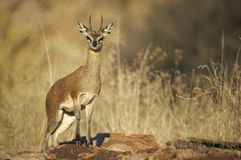 Male steenbok Royalty Free Stock Photo