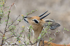 male steenbok Arkivbild