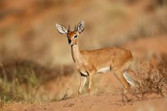 Male steenbok antelope - Kalahari desert. Male steenbok antelope Raphicerus campestris, Kalahari desert, South Africa Royalty Free Stock Photography