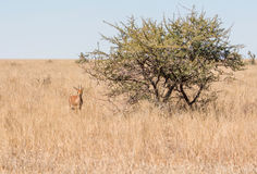 Male Steenbok Antelope. A Steenbok antelope in Southern African savanna Royalty Free Stock Photography