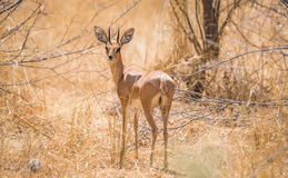 Male steenbok antelope standing in african bush. Male steenbok antelope Raphicerus campestris standing in african bush. Etosha National Park, Namibia, Africa Stock Photography