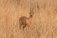Male Steenbok Portrait ears back. Male Steenbok Raphicerus campestris with ears back making eye contact, Namibia Stock Image