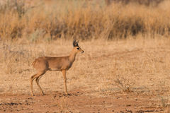 Male Steenbok portrait profile. Male Steenbok (Raphicerus campestris) Profile, Namibia Stock Photos