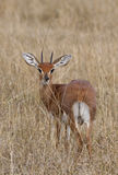 Male Steenbok (Raphicerus campestris). A male Steenbok (Raphicerus campestris) in the Savuti area of Botswana Stock Photo
