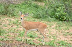 Male Steenbok (Raphicerus campestris). In Kruger National Park, South Africa Royalty Free Stock Photography