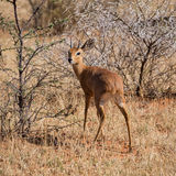 Male Steenbok. A male Steenbok in Southern African savanna Stock Photo