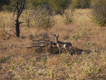 Male Steenbok. A Male Steenbok starts and freezes, looking directly at the photographer Stock Photography