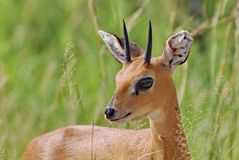 Male Steenbuck Royalty Free Stock Photo