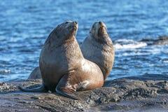 Free Male Steller Sea Lion Eumetopias Jubatus Stock Photos - 133625183