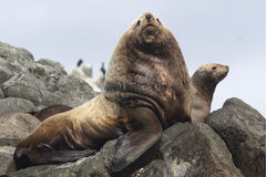 Male Steller sea lions lying on a rock near to the harem Royalty Free Stock Images