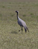 Male steppe crane in the steppe. Male steppe crane in the spring steppe Stock Photos
