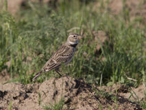 Male steppe lark sitting on the mound. Male steppe lark sitting on the mound in the desert Stock Photography