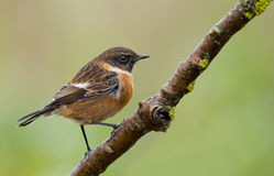 Male Stone-chat (Saxicola rubicola). Male Stone-chat (Saxicola rubicola) on a twig Royalty Free Stock Photography