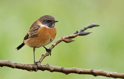 Male Stone-chat (Saxicola rubicola). Male Stone-chat (Saxicola rubicola) on a twig Stock Image