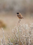 A male Stonechat Royalty Free Stock Photography