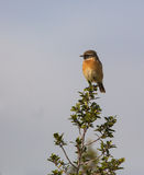 Male Stonechat. A male European Stonechat (Saxicola rubecula) sitting on top of a bush Stock Photography