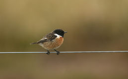 A male Stonechat bird Saxicola torquata perched on a wire fence. Royalty Free Stock Image