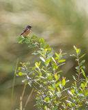 Male Stonechat on bush. The male Stonechats (Saxicola rubicola) like to pose on elevated positions which allow for a control of it's territory Royalty Free Stock Images