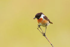 A male Stonechat with a food in the beak Royalty Free Stock Images