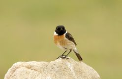 Male Stonechat perched. On a rock Stock Photography