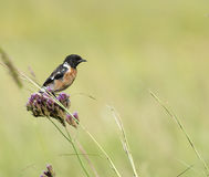 Male Stonechat on purple bush. A male African stonechat preched on a bunch of purple flowers amongst veld grass Royalty Free Stock Image