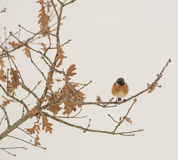 Stonechat perching on an oak. A male Stonechat (Saxicola rubicola) perches on an oak, the dry leaves showing a winterly ambient in the northwest of Spain Royalty Free Stock Photos