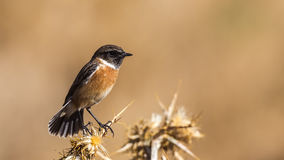 Male Stonechat. (Saxicola rubicola) is perching on thistle with tail feathers open Royalty Free Stock Images