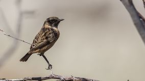 Male Stonechat on Tree Branch. Male stonechat Saxicola rubicola is perching on tree branch Royalty Free Stock Photos