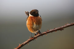A male Stonechat (Saxicola torquata) perched on a bramble stem. Stock Photos