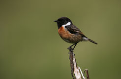 A male Stonechat (Saxicola torquata) perched on the tip of a dead branch. Stock Image