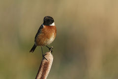 A male Stonechat (Saxicola torquata) sitting on a bulrush. Royalty Free Stock Photos