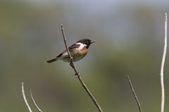 Male Stonechat sitting on a dry branch in the desert. Male Stonechat sitting on a dry branch in the desert in the early spring Stock Photography