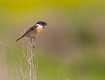 Male Stonechat with spider. A male Stonechat (Saxicola rubicola) has captured a spider Royalty Free Stock Photo